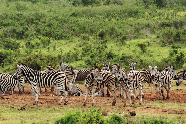Herd of beautiful zebras on the grass covered fields near a hill in the forest