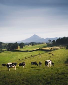 Una mandria di mucche bianche e nere su un pascolo