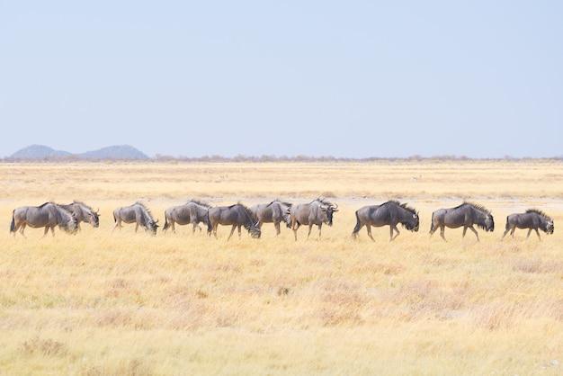 Herd of blue wildebeest grazing in the bush.