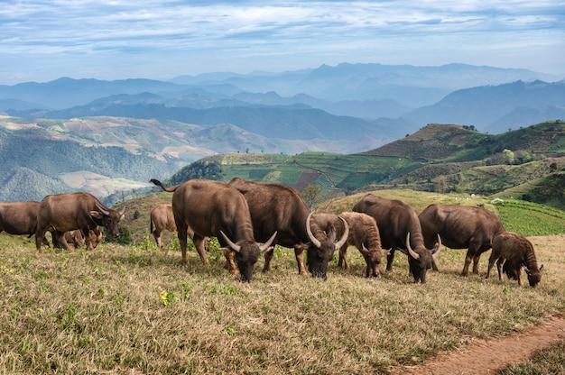 Herd of buffalo grazing on hill in rural farmland at doi mae tho