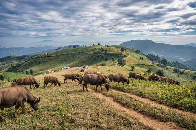 Herd of buffalo grazing on hill and tourists camping in national park at doi mae tho