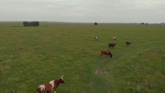 Стадо быков коровы красивый крупный рогатый скот большой скот едят зеленую траву на лугу степное пастбище