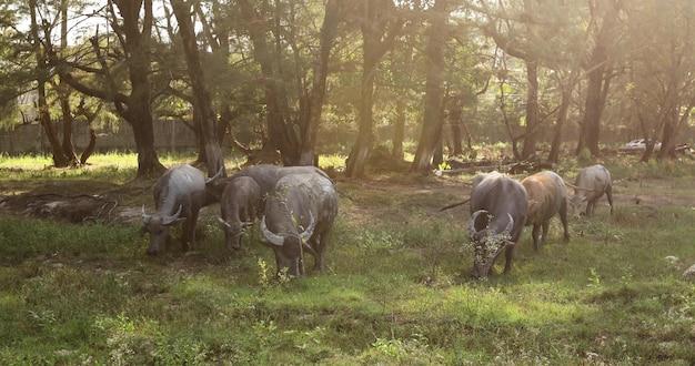 Herd bulls grazing lawn bright sunny day