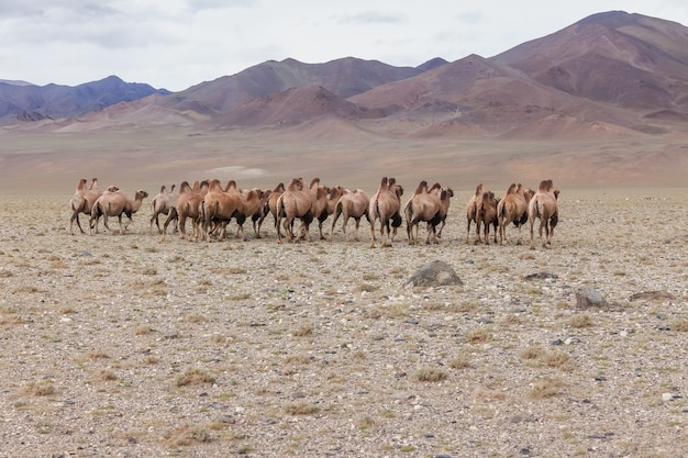 Herd of camels in steppe with mountains in the background. altai, mongolia