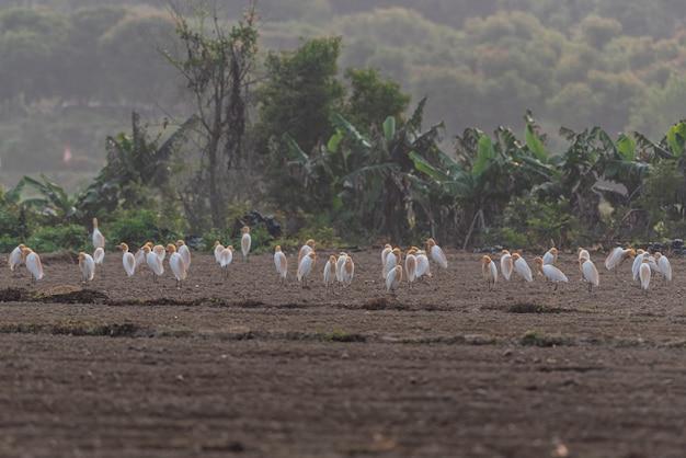 A herd of cattle egrets stay in fields or trees