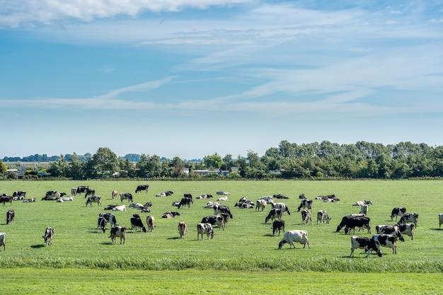 Mandria di bovini al pascolo in un prato fresco sotto un cielo azzurro con nuvole