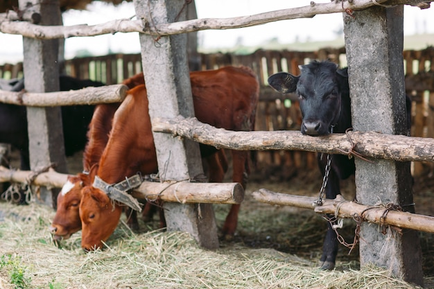 Herd of cows in cowshed