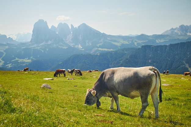 Herd of cows eating grass on a green pasture surrounded by high rocky mountains
