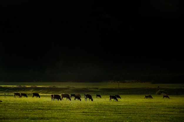 Herd of cows in the field on slope of mountain. beautiful landscape with ray of sunlight