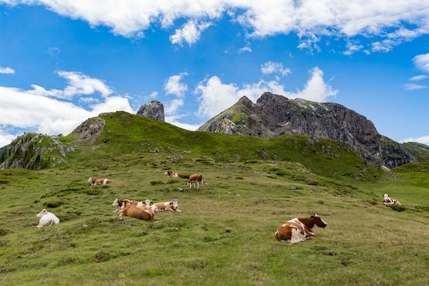 Herd of cows grazing in alps