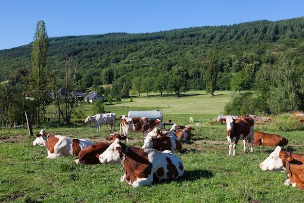 Mandria di mucche al pascolo nel campo in primavera