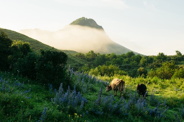 Herd of cows grazing in meadow in mountains in morning mist