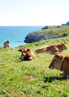 Herd of cows grazing next to sea