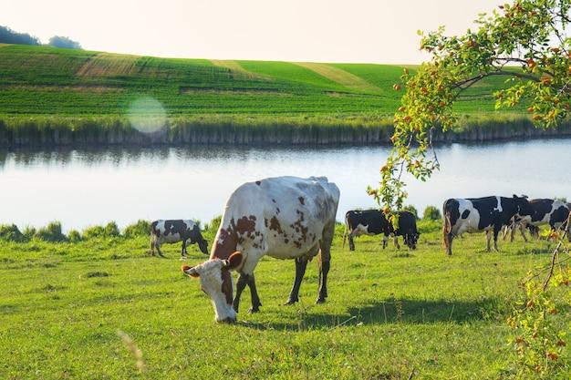 A herd of cows grazing