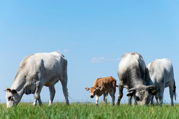 A herd of cows of green grass and blue sky.