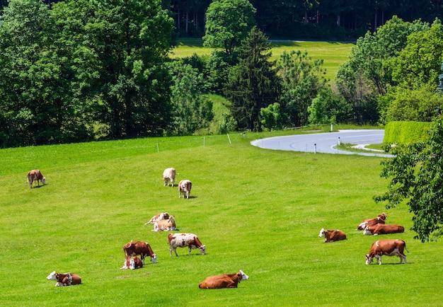 Стадо коров на цветущих летних травянистых полянах пастбище