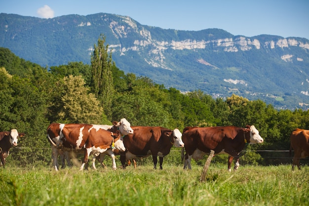 Herd of cows producing milk for gruyere cheese in france in the spring