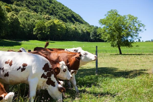 Mandria di mucche che producono latte per il formaggio gruyère in francia in primavera