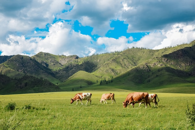 Herd of cows in a summer rural landscape on a summer day in mountain area