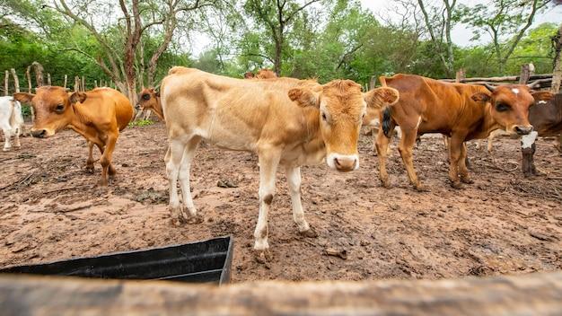 Mandria di mucche che cammina per la campagna