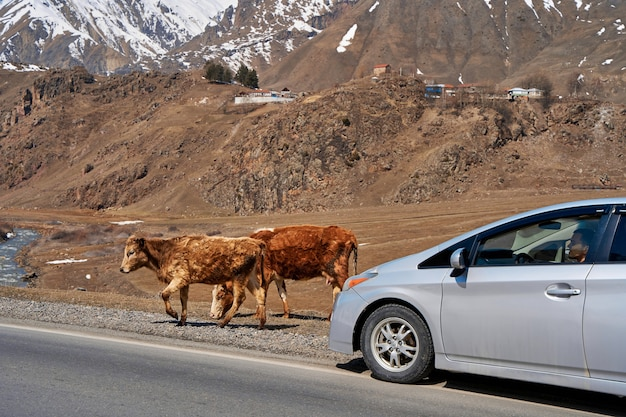 A herd of cows walks along the road. against the background of snow-capped mountains. village in georgia.