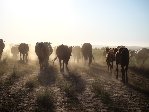 A herd of cows walks into the sunset, dusty road, streaks of light. livestock raising.