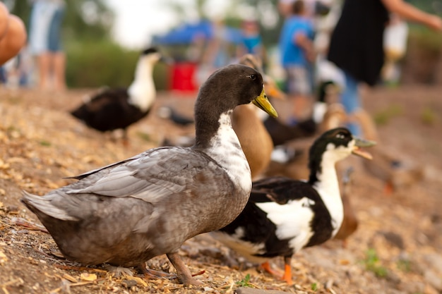 A herd of ducks begs food from people on the lake in a city park