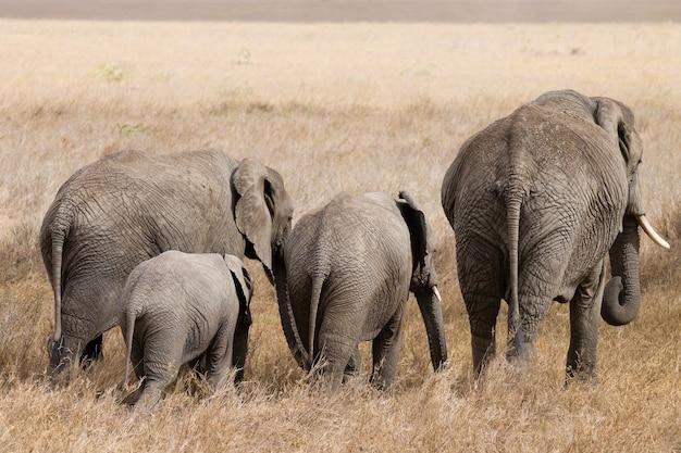 Herd of elephants from serengeti national park, tanzania, africa