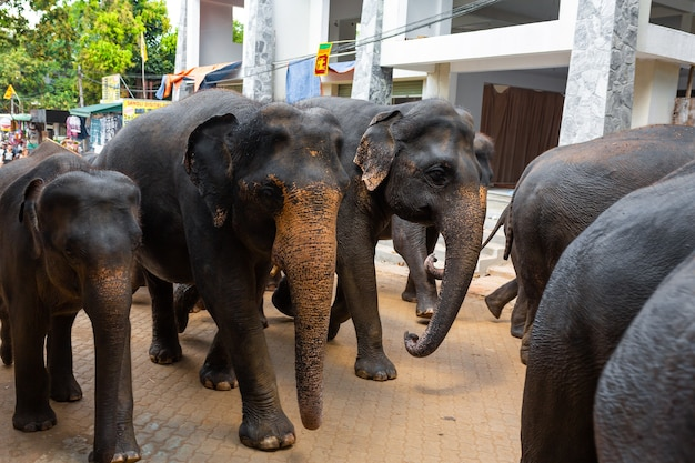 A herd of elephants is led down a city street after swimming in the river. elephant orphanage in sri lanka.