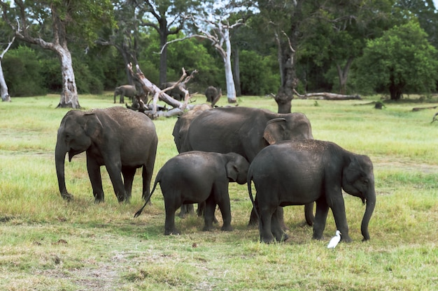 Herd of elephants in a natural park in asia