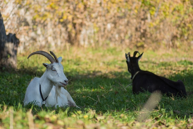 Herd of farm goats. black and white goats on the field