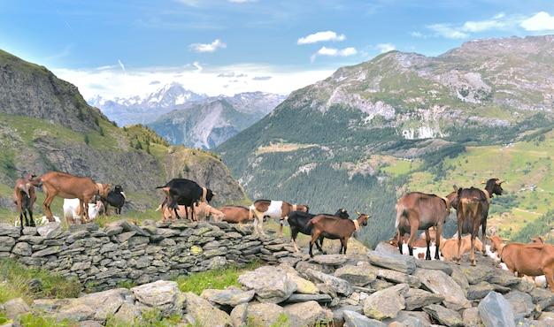 Herd of farm goats in the rocks in alpine mountain landscape