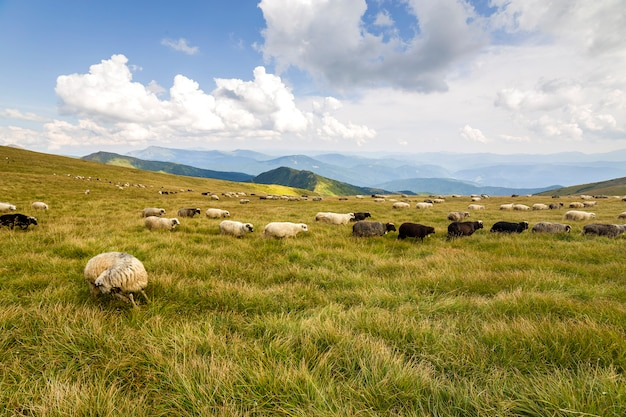 Herd of farm sheep grazing on green mountain pasture