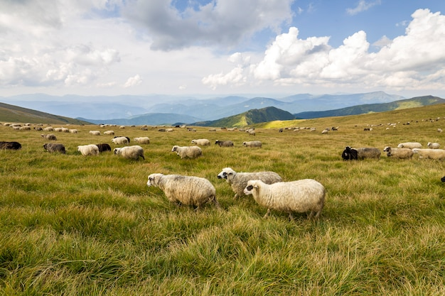 Herd of farm sheep grazing on green mountain pasture.