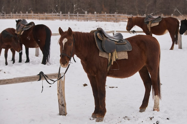 Herd of foals on the snow-covered meadow in a deep winter.