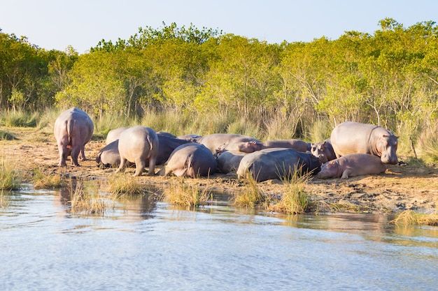 Herd of hippos sleeping along river from isimangaliso wetland park