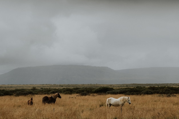 Herd of horses grazing in a grassy field with a foggy background in iceland