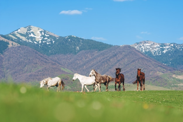 The herd of horses in the mountains. horses grazing in the meadow against the blue sky