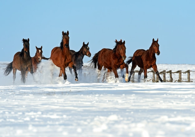 Herd of horses running on a snowy field