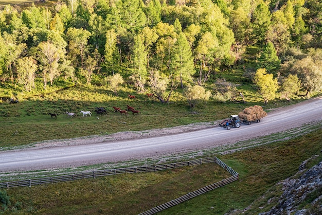 Herd of horses and a tractor with hay on the road rural autumn landscape russia mountain altai