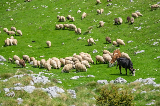 A herd of lambs and cows grazing on a green mountain mea