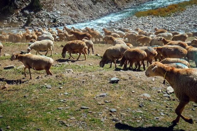 Herd of local sheep with blue painted marked grazing near mountain and flowing river.