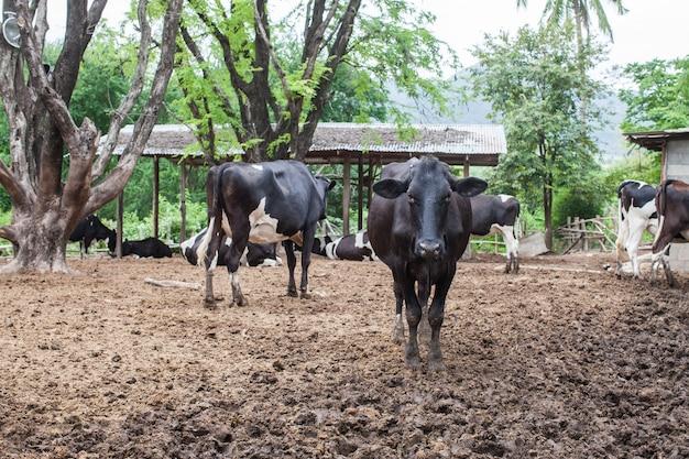 Herd of milk cow on the farm