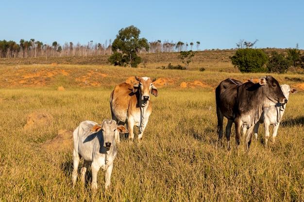 牧草地のネロール牛の群れ