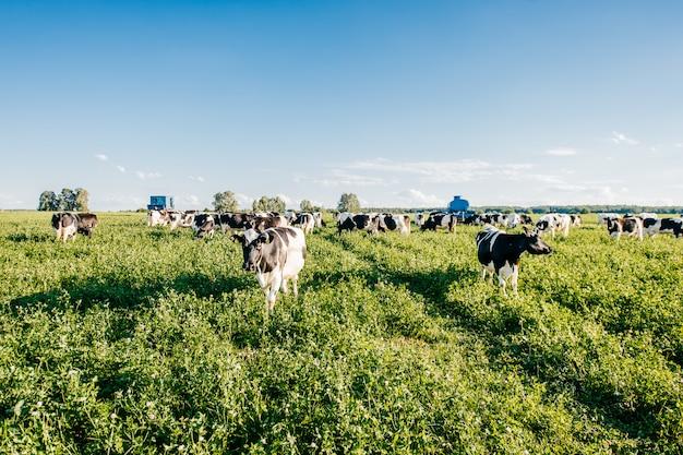목초지에 시골에서 여름 햇볕이 잘 드는 필드에 검은 색과 흰색 소의 무리