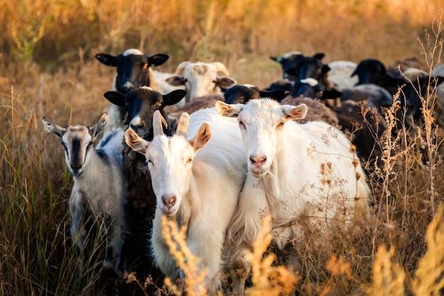 Стадо черных и белых коз на вечернем поле