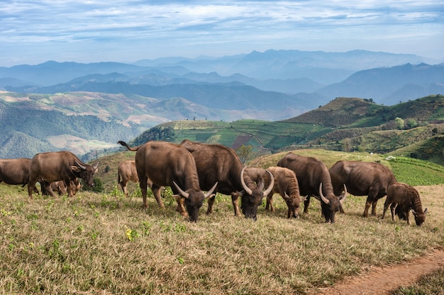 Doi maethoの田舎の農地の丘で放牧している水牛の群れ