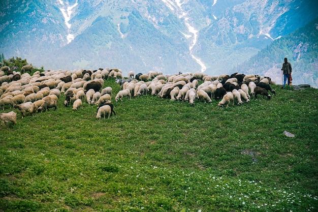 녹색 들판에서 방목하는 소와 목자의 무리