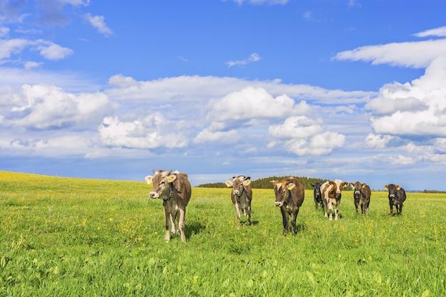 暖かく晴れた日に捕獲された草で覆われた牧草地で放牧している牛の群れ