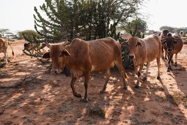 ケニアのサンブルの泥だらけの地面に木の周りの牛の群れ